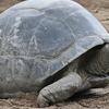 An Aldabra Giant Tortoise From Zanzibar
