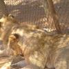 Lions At Nairobi Animal Orphanage Kenya