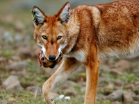 454 1ethiopian Wolf With Prey