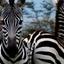 Zebras In Masai Mara