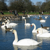 Swans And Canada Geese On The Round Pond