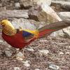Male Golden Pheasant D C