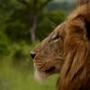 Male Lion Nick Smith