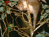 Daintree Ringtail Possum