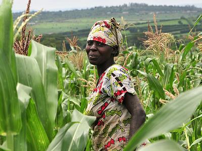 A Farmer In A Maize Field