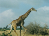 A Giraffe In Nairobi National Park.