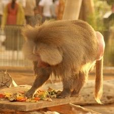 Al Ain Zoo Monkeys
