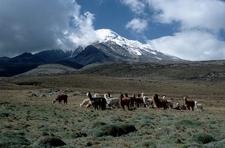 Alpacas In Front Of Chimborazo