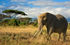 Elephant In Forefront