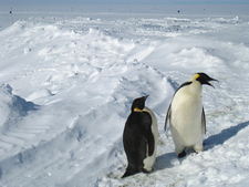 Antarctica - Penguins