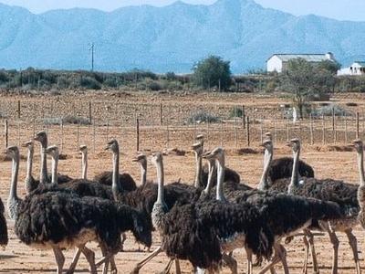 The Highgate Ostrich Show Farm