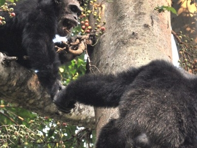 Adult Male Chimps In Mahale