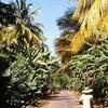 Banana Plantation In So Domingos