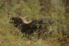 Bison At Kanha