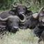 Bison In Tanzania