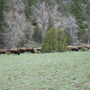 Bison On Yellowstone - Black Canyon Trail