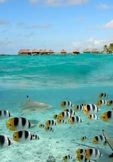 Blacktip Reef Shark & School Of Colorful Fishes