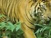 Tiger At Bukit Barisan Selatan National Park