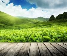Cameron Highlands Tea Plantation In Pahang