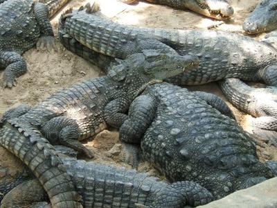 Crocodile Bank
