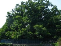Hundred Horse Chestnut