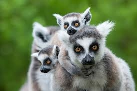 5 Days with Lemurs in Madagascar Photos