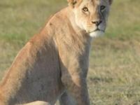 Big Five Encounter - Masai Mara - Kenya