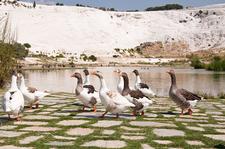 Ducks In Pamukkale