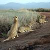 East African Cheetahs