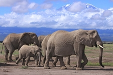 Elephant Family Near Kilimanjaro