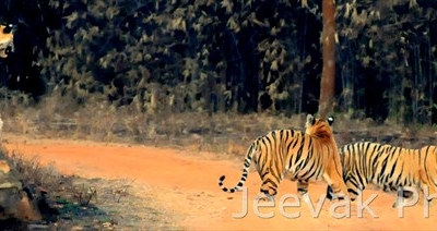 The Party Is Over - Tigers In Tadoba