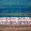 Flamingoes Feeding At Lake Nakuru