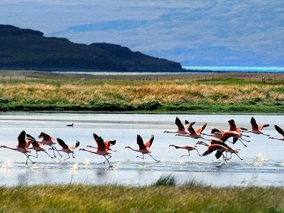 Flamingos - Lago Argentino - Patagonia - Argentina