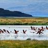 Flamingos - Lago Argentino - Patagonia