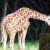 Giraffe At Patna Zoo