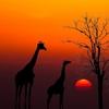 Giraffes & Dead Tree Against Sunset In Tanzania