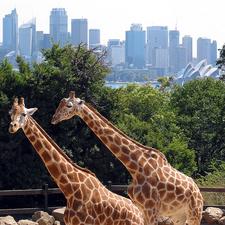 Giraffes In Taronga Zoo