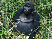 Special Offers for Gorilla Tracking in Uganda