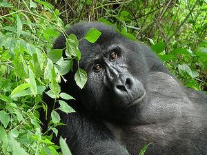 Gorilla Permits on Promotion Photos