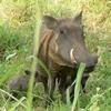 Gorongosa Warthogs