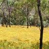 Hypericum Perforatum Field Belair Park