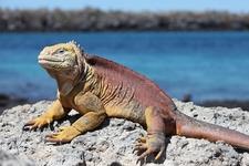 Iguana In Galapagos South Plaza Island