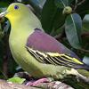 Pompadour Green Pigeon At Kaudulla National Park