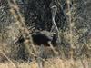 Khaudum - Ostrich