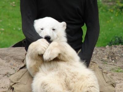 Knut - Berlin Zoological Garden