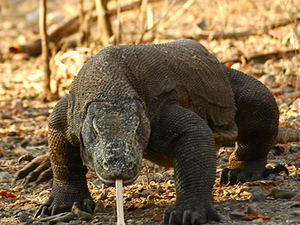 Komodo Adventure 4 Days Photos
