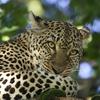 Leopard Near Lake Nakuru