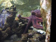 Female Octopus In Aquarium