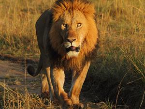 Kenya Safaris & Tour Packages Masai Mara, Nakuru, Amboseli Fotos