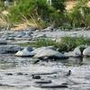 Mallards On River
